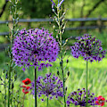 Globe Allium Garden by Karen Adams