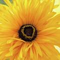 Gloriosa Daisy by Ann Jacobson