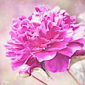Glorious Pink Peony by Anita Pollak