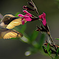 Glowing Wings Of A Hummingbird by Cecilio Martinez
