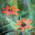 Glowing Zinnias 3046 Idp_2 by Steven Ward