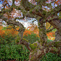 Gnarly Maple by Jean Noren