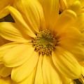 Golden Daisy by Linda Knudsen