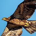 Golden Eagle II by Jeff Phillippi