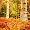 Golden Ferns In The Birch Glade by Jeff Sinon