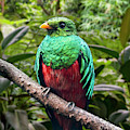 Golden-headed Quetzal by Arterra Picture Library