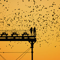 Golden Hour Starlings Over Aberyswyth Pier by Keith Morris