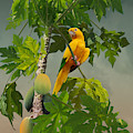 Golden Parakeet In Papaya Tree by M Spadecaller