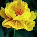 Golden Poppy by Robert FERD Frank