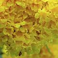 Golden Tree, Golden Trumpet Tree Or Tallow Pui Dthn0255 by Gerry Gantt