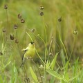 Goldfinch In Summer by Jeff Folger
