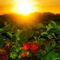 Good Morning Strawberries by David Lee Thompson