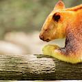 Goodfellows Tree-kangaroo by Rob D Imagery