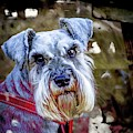 Gorgeous Schnauzer by Nigel Dudson