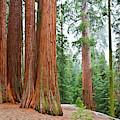Grant Grove Sequoia Trees by Kyle Hanson