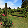 Grapevines In North Carolina In The Yadkin Valley Area by Jill Lang