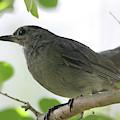 Gray Catbird by Trina Ansel