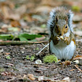 Gray Squirrel Stood Upright Eating A Nut by Scott Lyons