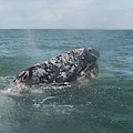 Gray Whale In Bahia Magdalena by NaturesPix