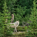 Gray Wolf In Taiga Forest Northwest Territories Canada by Dave Welling