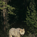 Gray Wolf In The Northwest Territories Canada by Dave Welling