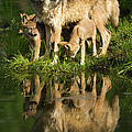 Gray Wolf Mother And Pups Standing by Jimkruger