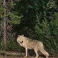 Gray Wolf Poses In Taiga Forest Canada by Dave Welling