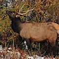 Grazing Elk - Estes Park by Angie Tirado