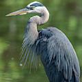 Great Blue Heron After Preening Dmsb0157 by Gerry Gantt