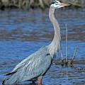 Great Blue Heron Dmsb0150 by Gerry Gantt