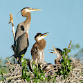 Great Blue Heron Family In The Nest by Judi Dressler