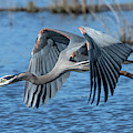 Great Blue Heron In Flight Dmsb0151 by Gerry Gantt