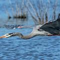 Great Blue Heron In Flight Dmsb0152 by Gerry Gantt