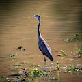 Great Blue Heron In The Heat by Lora J Wilson