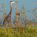 Great Blue Heron Looking For Food by Michael Munster