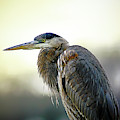 Great Blue Heron Portrait by Brian Wallace