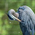 Great Blue Heron Preening Dmsb0157 by Gerry Gantt
