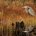Great Blue Heron Reflected In Pond by Jeff Folger