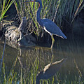 Great Blue Heron Reflecting by Bruce Gourley