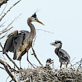 Great Blue Heron Rookery 1 by Rick Mosher