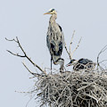 Great Blue Heron Rookery 3 by Rick Mosher