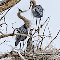 Great Blue Heron Rookery 4 by Rick Mosher