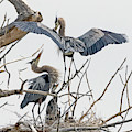 Great Blue Heron Rookery 5 by Rick Mosher
