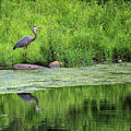 Great Blue Heron Square by Karen Adams