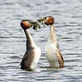 Great Crested Grebes And Weed Dance by Colin Rayner