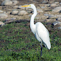 Great Egret 5225-022619 by Tam Ryan