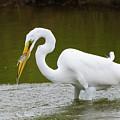 Great Egret Fishing by Jennifer Ancker