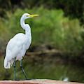 Great Egret by Jennifer Ancker