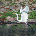 Great Egret Liftoff 3754-020119 by Tam Ryan