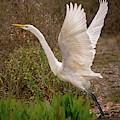 Great Egret Taking Flight Near Richardson Bay by Brian Tada